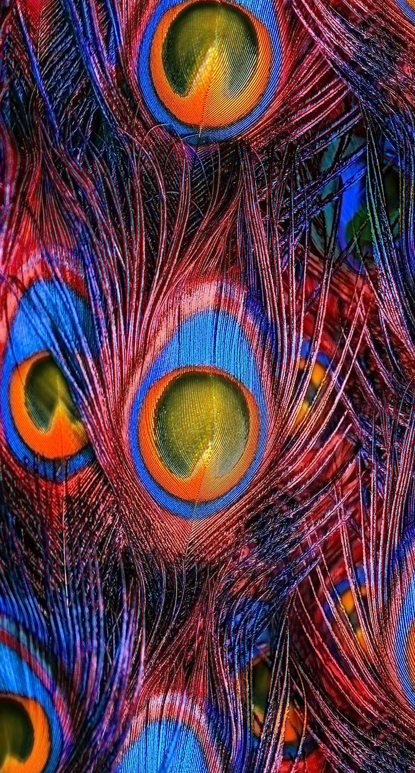 peafowl, iridescent