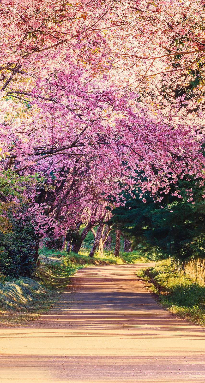 cherry blossom, shrub