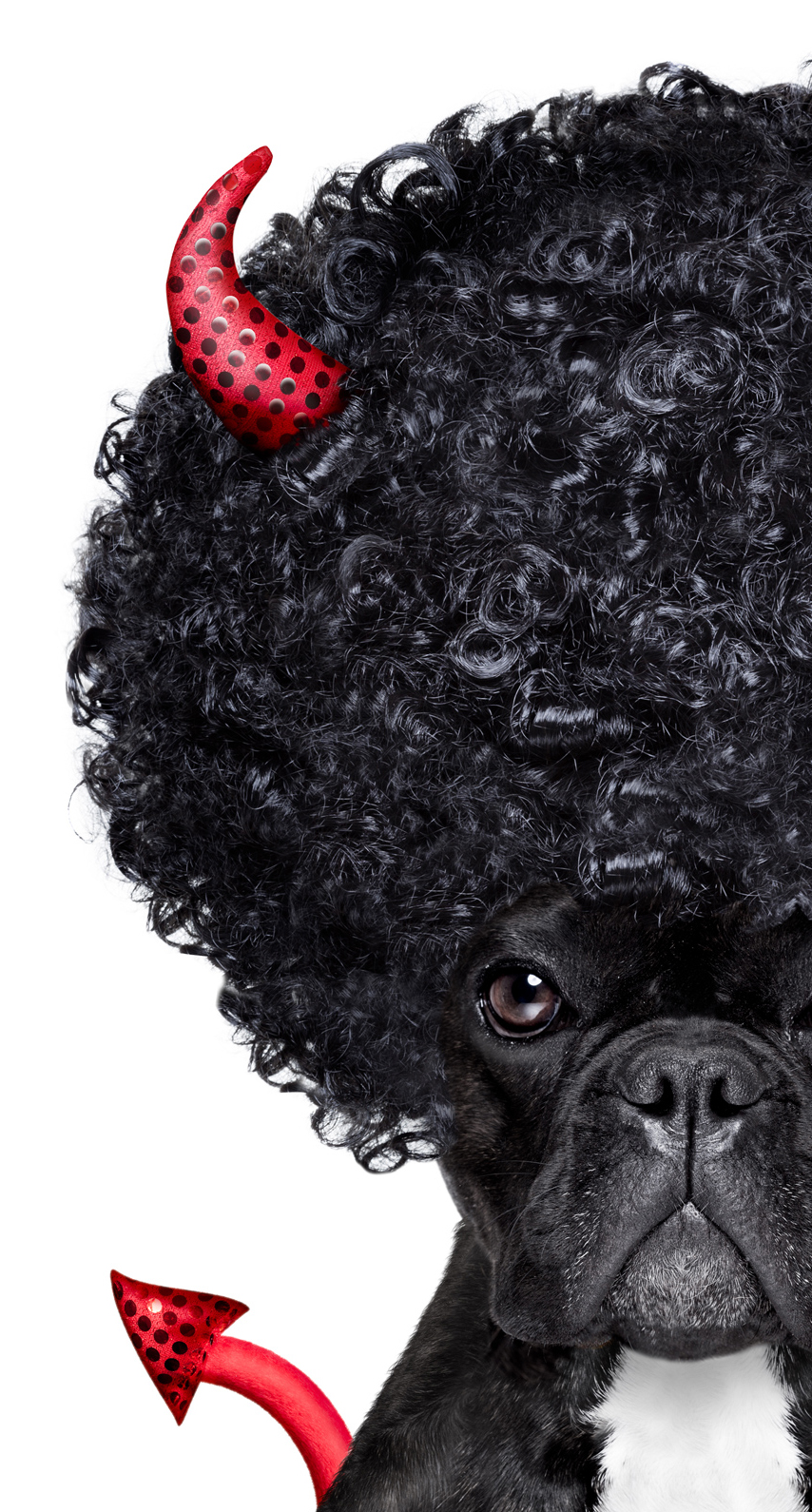 isolated, young, humor, looking, puppy, canine, curly, poodle, wig, afro