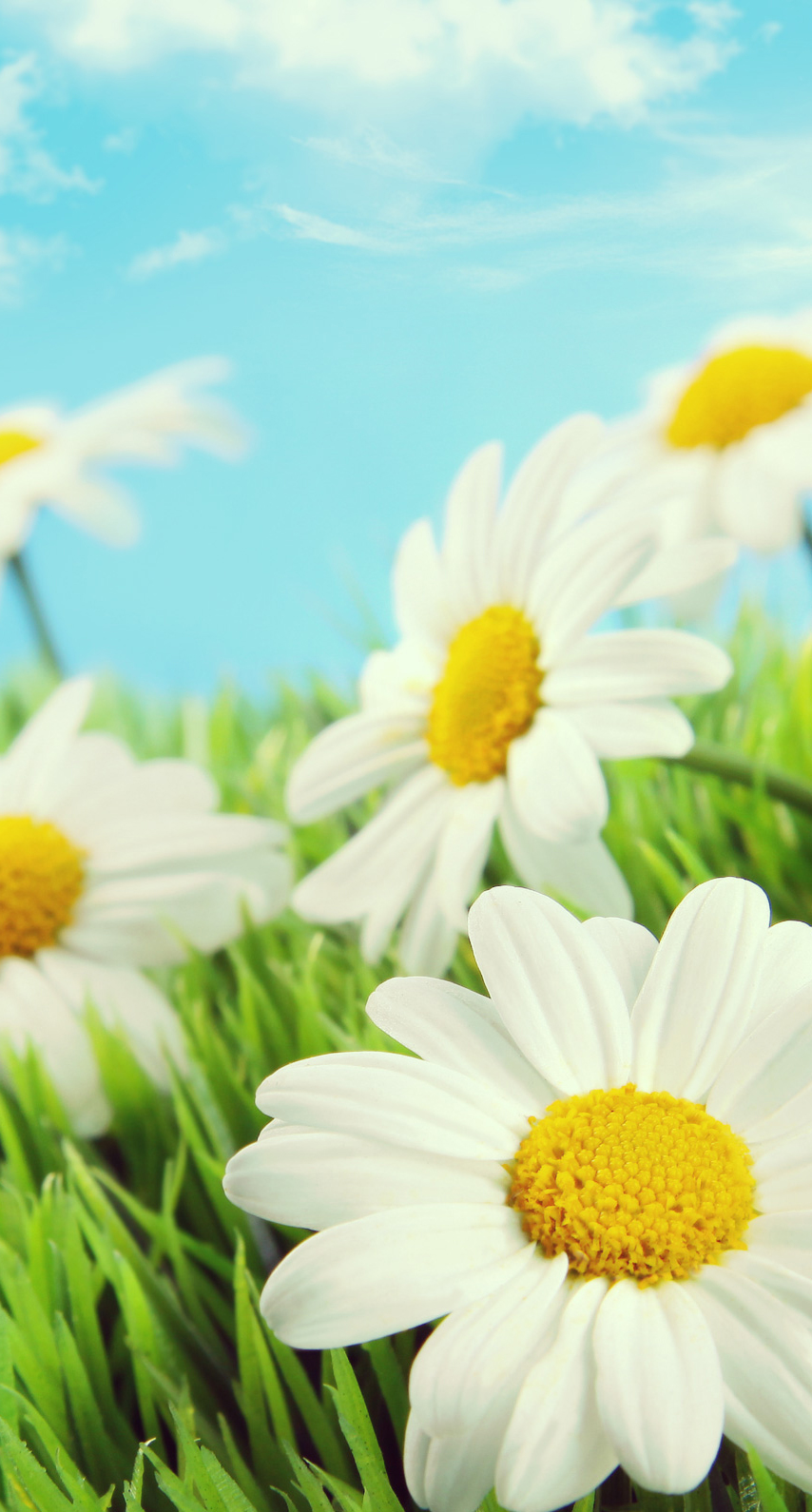 fair weather, hayfield, color, flora, garden, blooming, petal, season, growth, lawn, chamomile