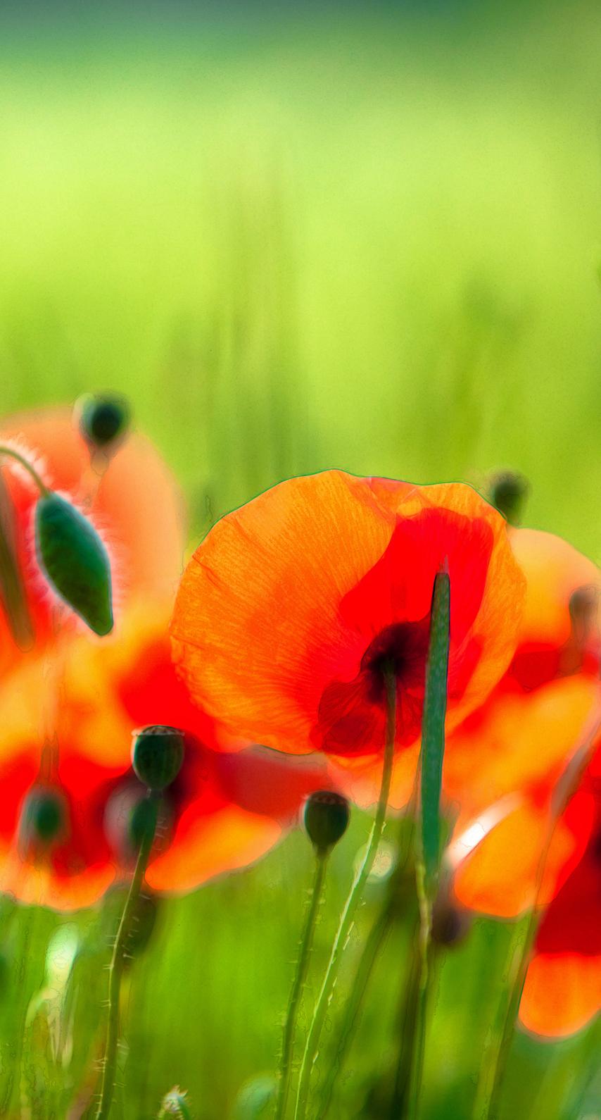 garden, season, growth, vibrant, tulip