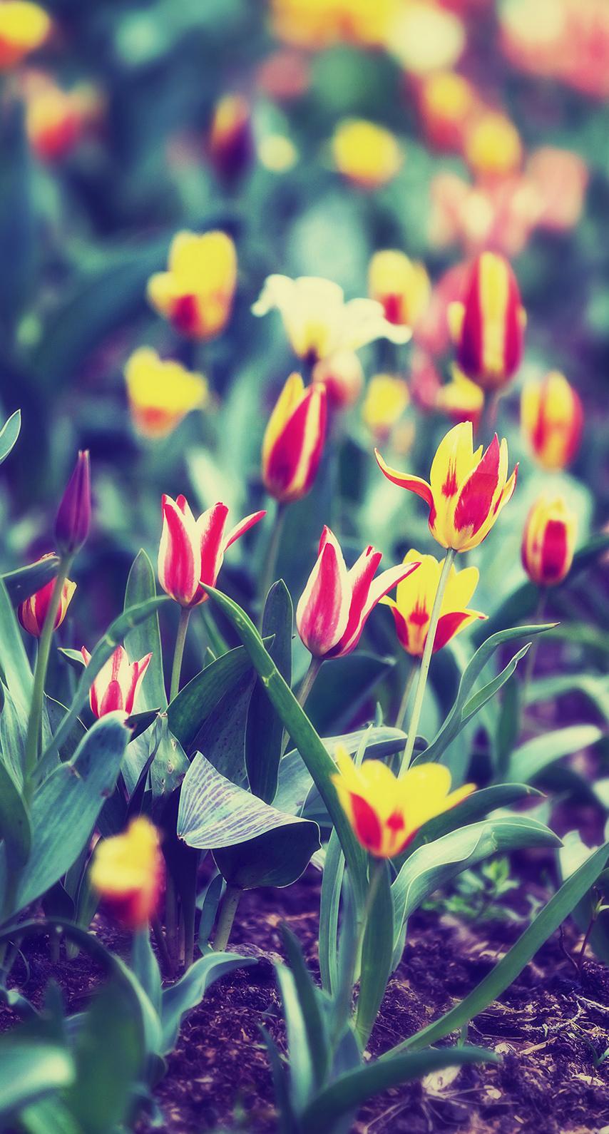season, vibrant, tulip