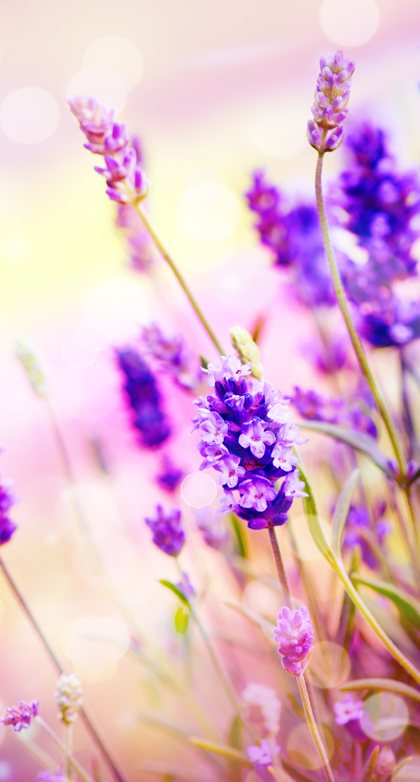 flora, garden, blooming, dof, perfume, lavender color, lilac, herbal, aromatic, aromatherapy, cluster