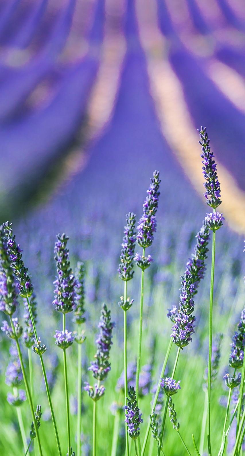 growth, lavender color