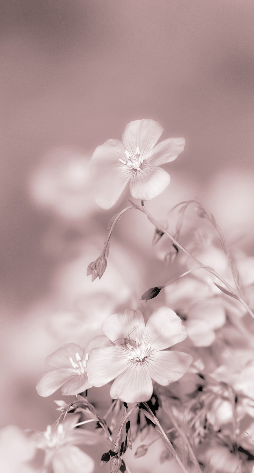 cherry, blur, no person, fair weather, flora, garden, blooming, petal, closeup, season