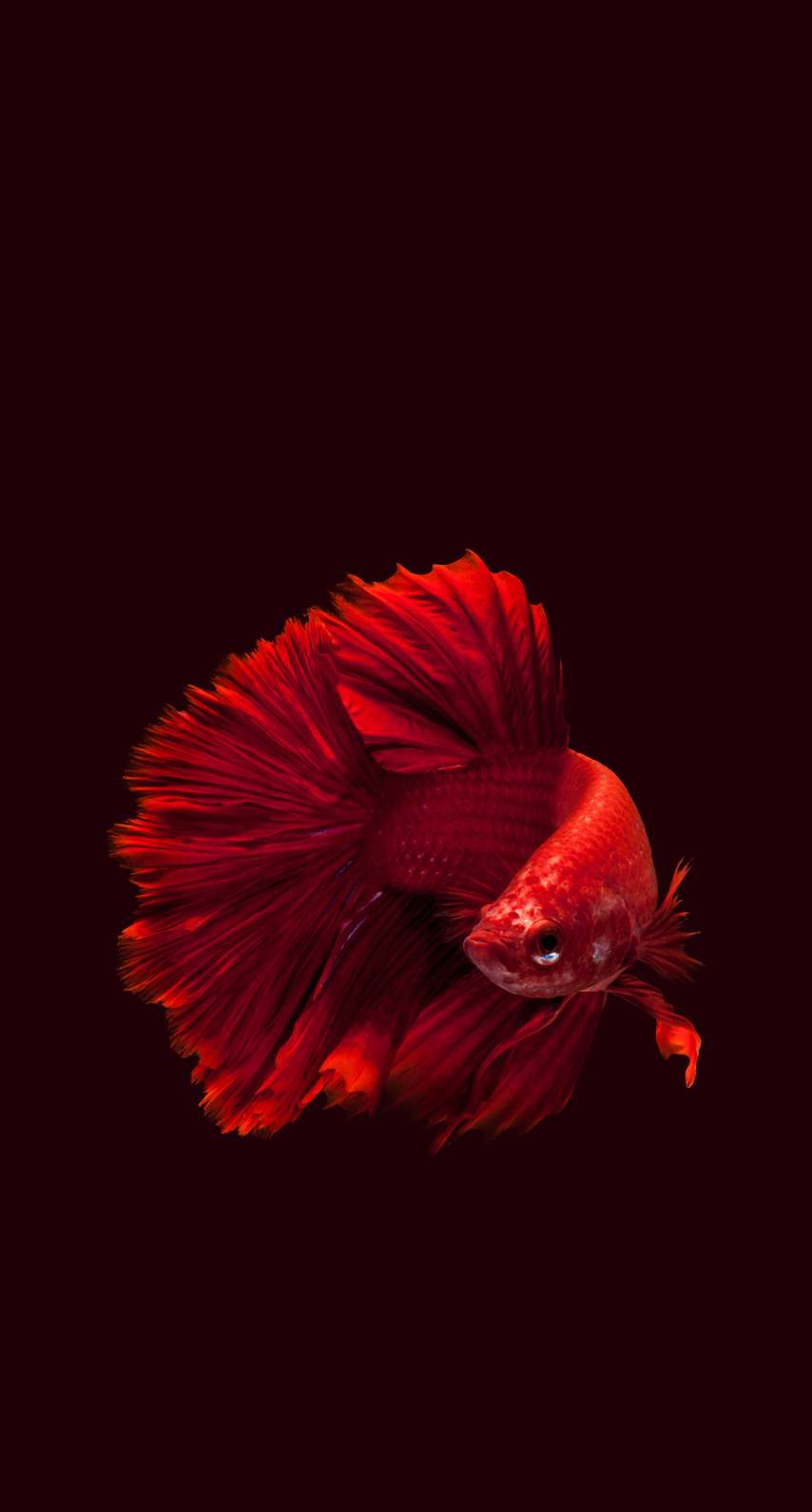 no person, one, color, coloring, portrait, wildlife, underwater, aquarium, parrot, siamese, pigeon