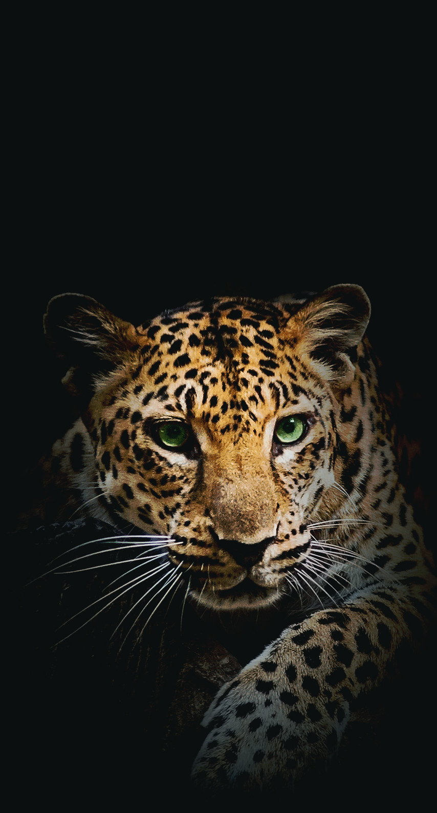 mammal, predator, hunter, staring, big, panthera, carnivore, hunt