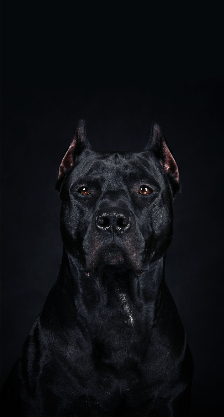 pet, dog, animal, pitbull, no person, one, portrait, mammal, halloween, vicious, studio, isolated, young