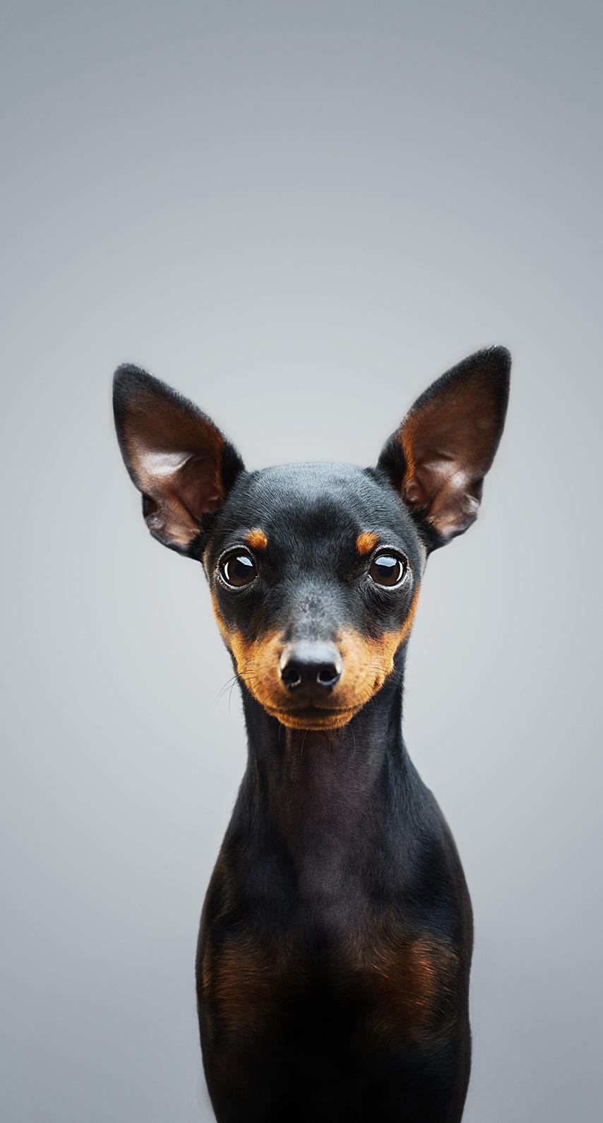 puppy, pinscher