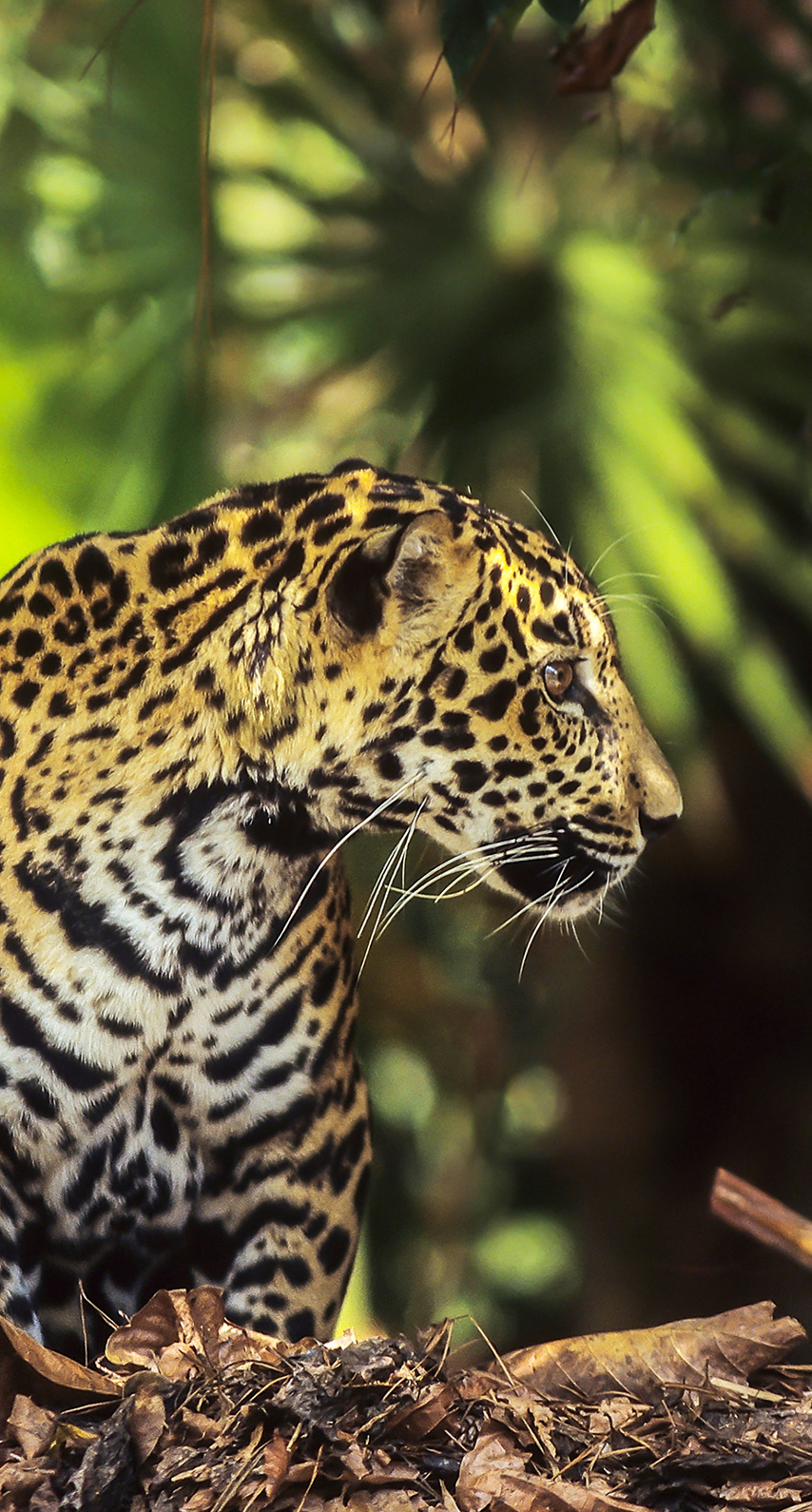 jaguar, wildlife