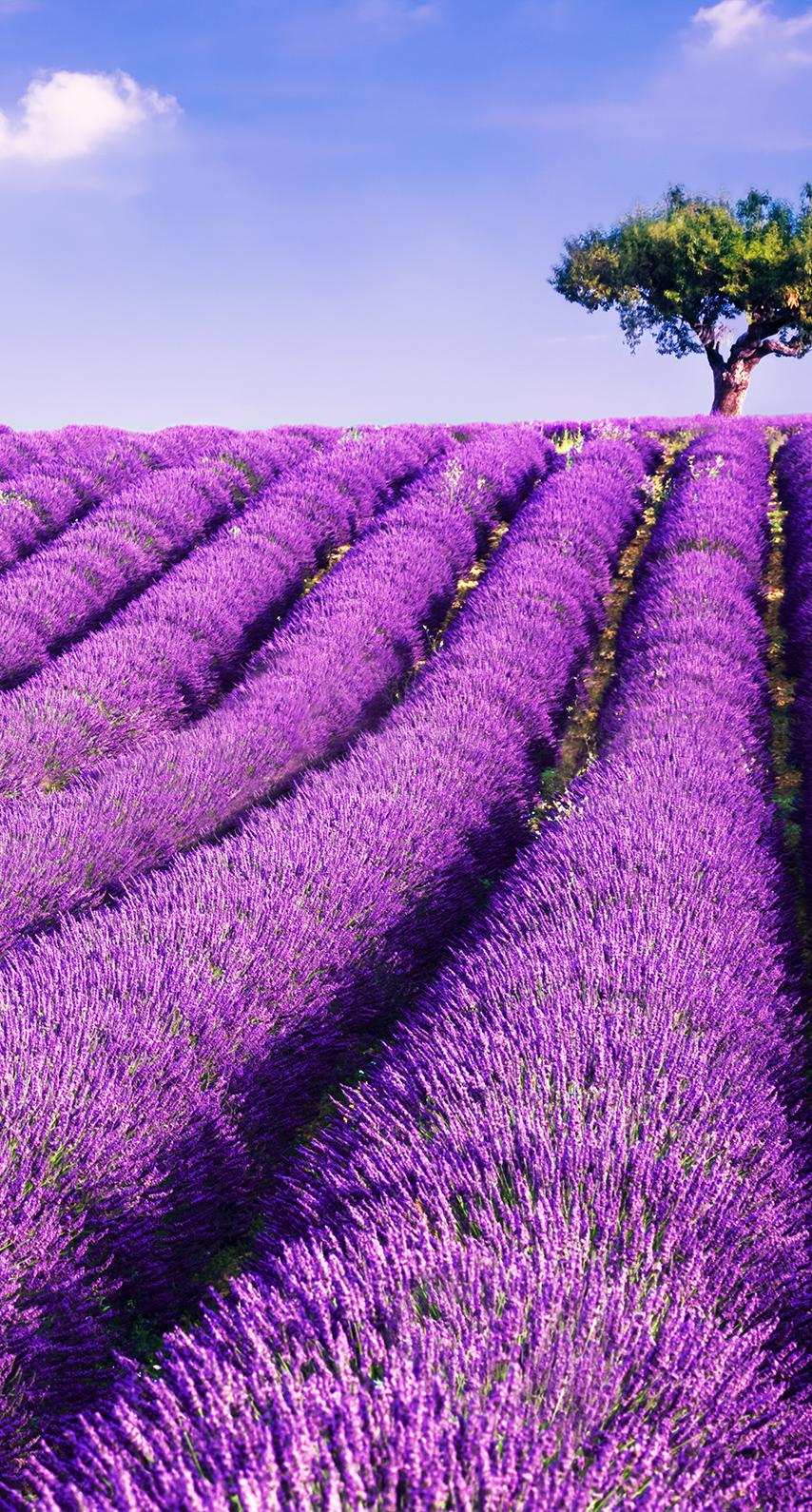 purple, field