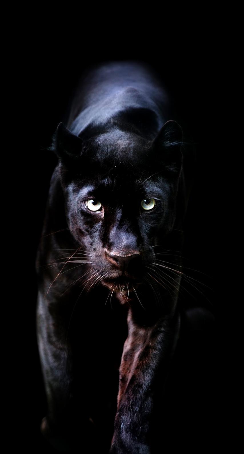 black, panther