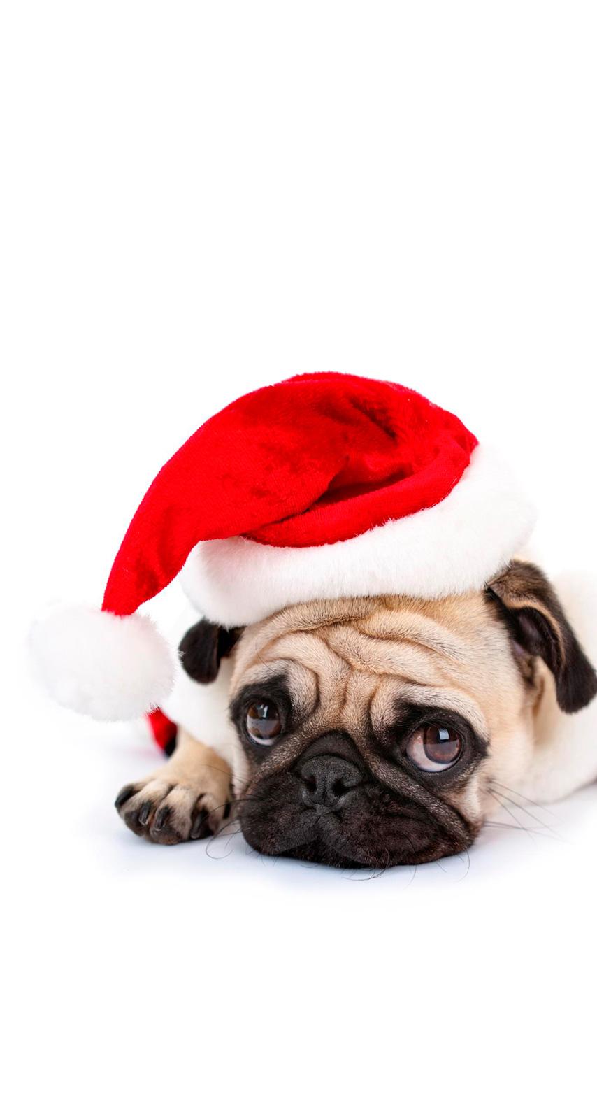 pug, breed, wrinkle, purebred, boxer, bulldog, pedigree, snout, carnivoran, dog like mammal, dog breed, puppy love, companion dog, toy dog, fawn, dog clothes
