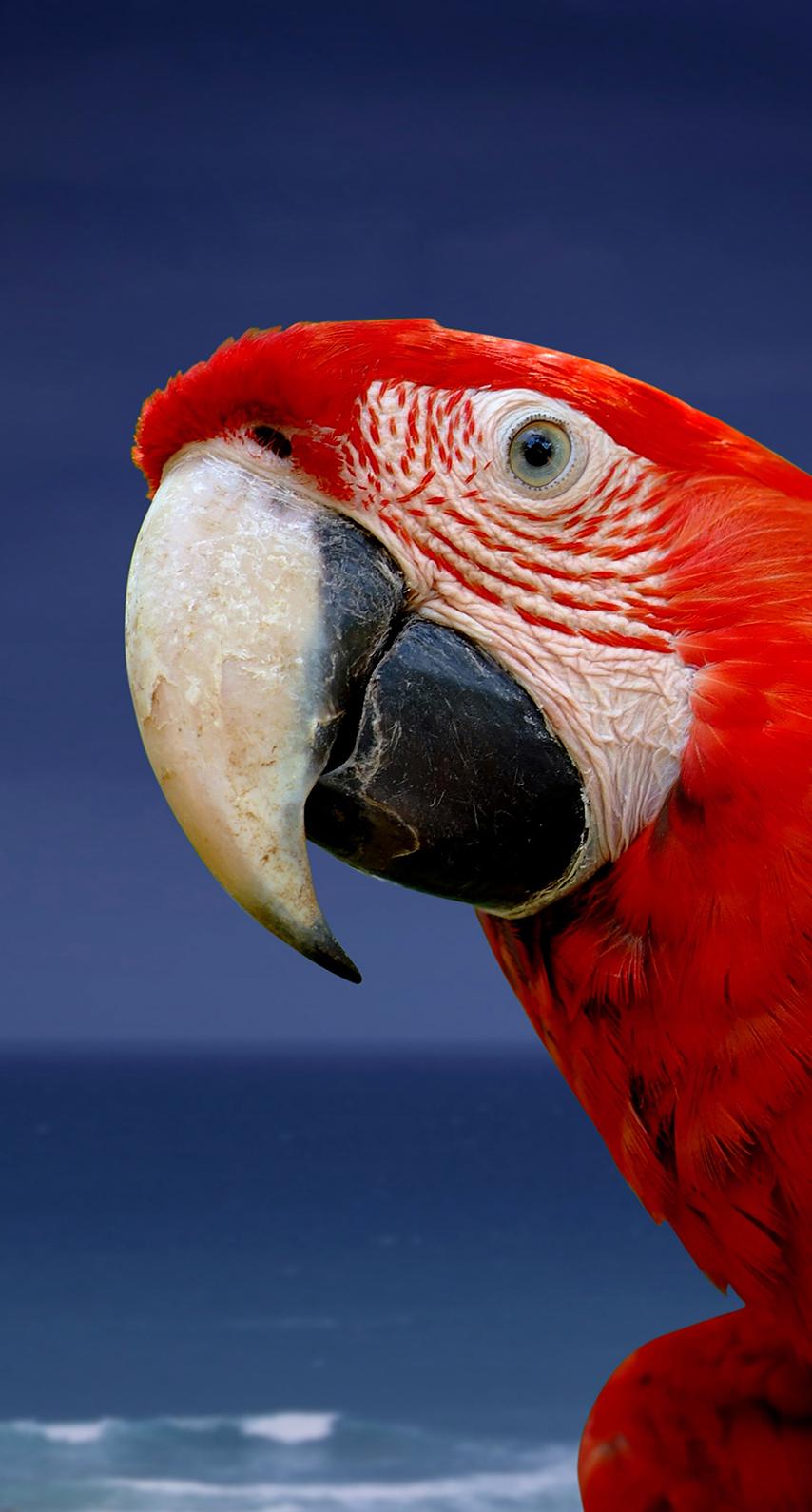 macaw, beak