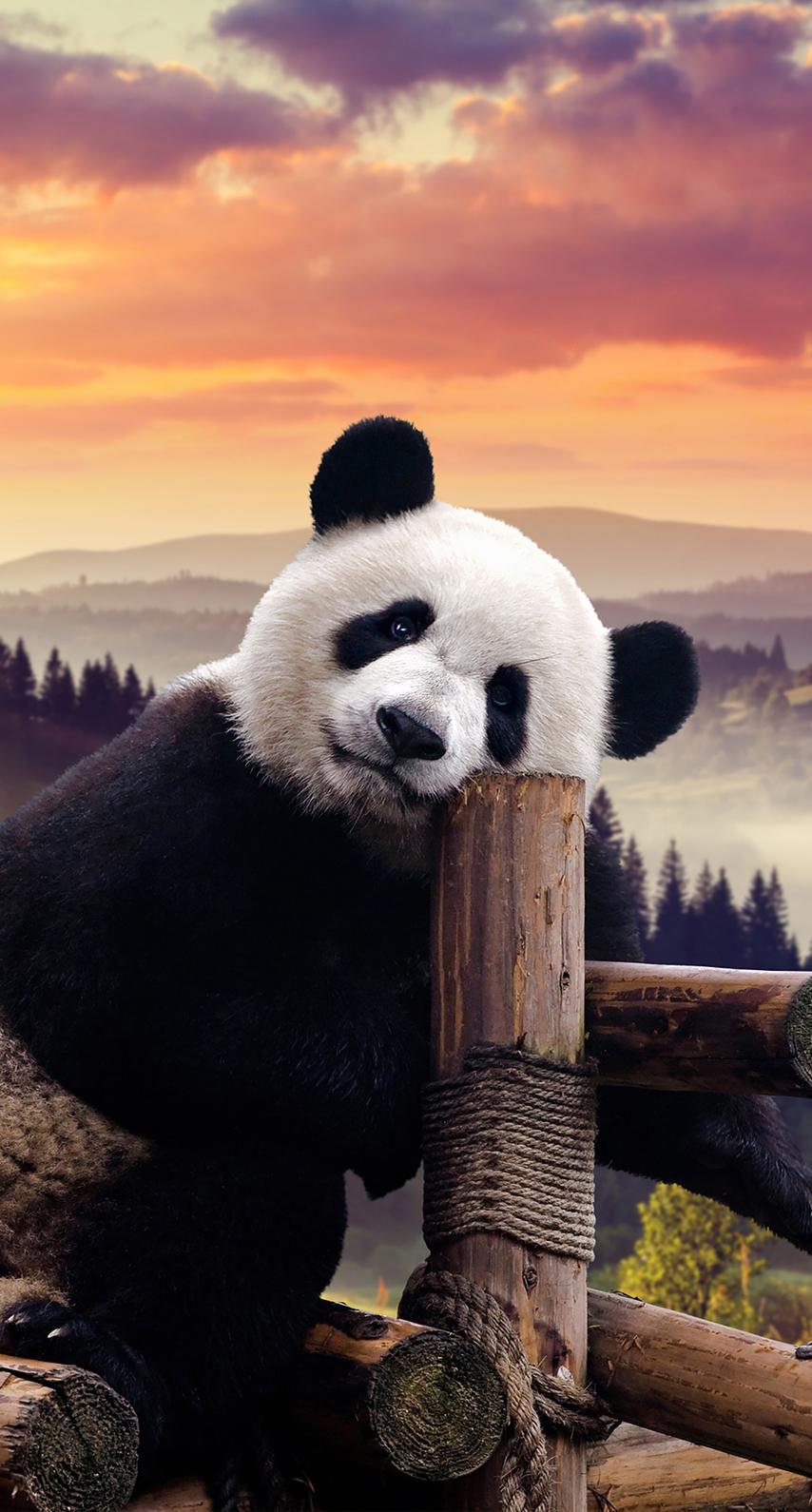snout, giant panda