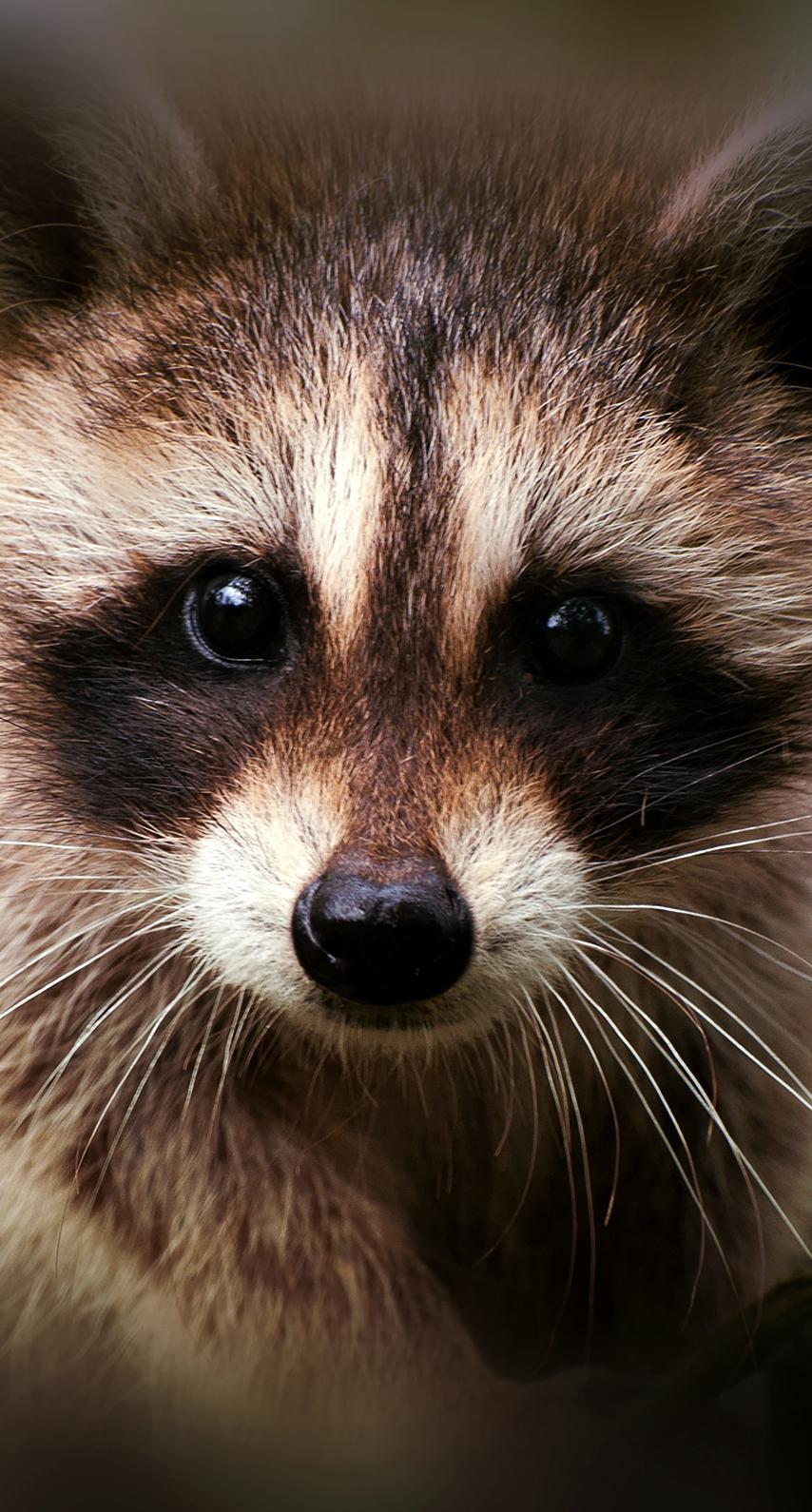 fox, raccoon