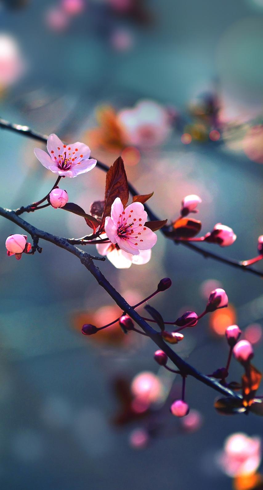 sunlight, cherry blossom