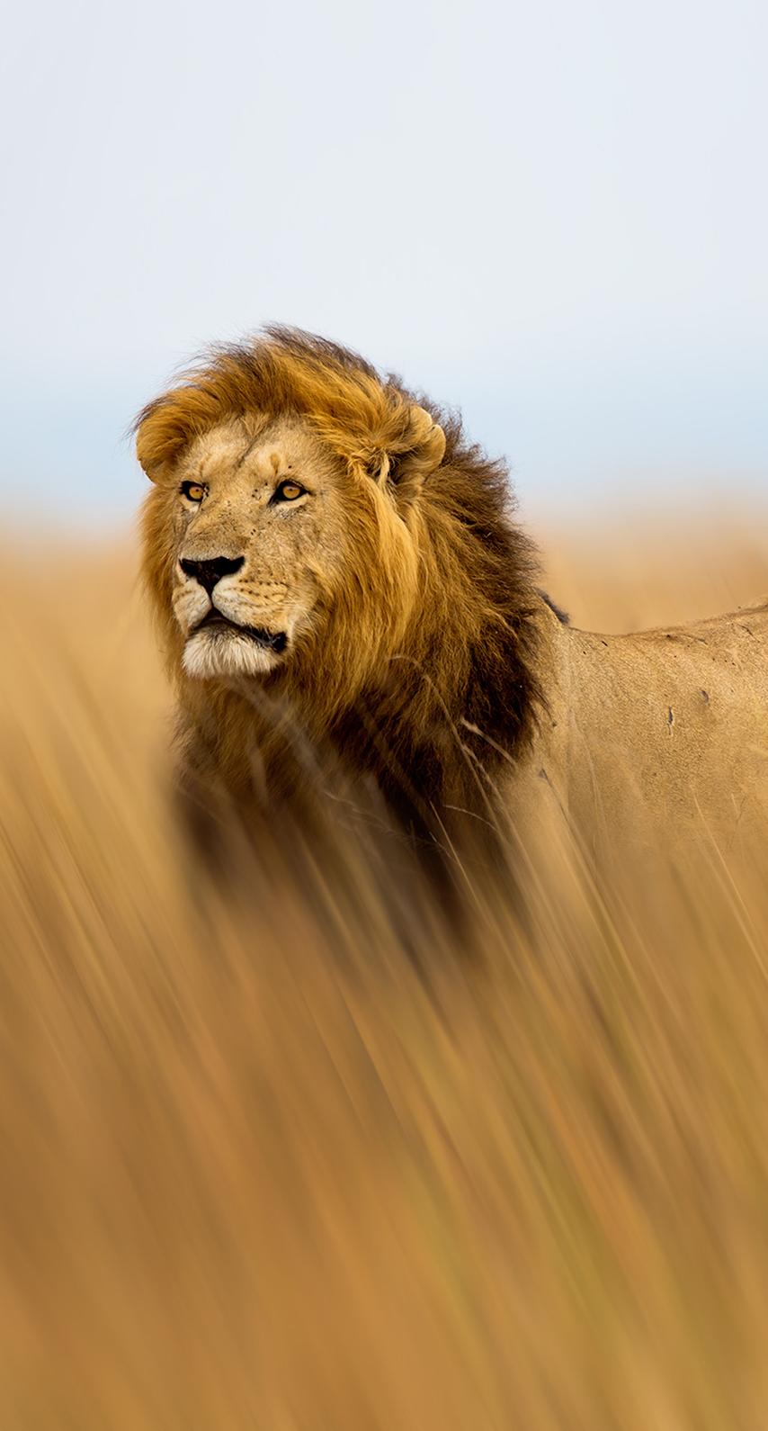 terrestrial animal, masai lion