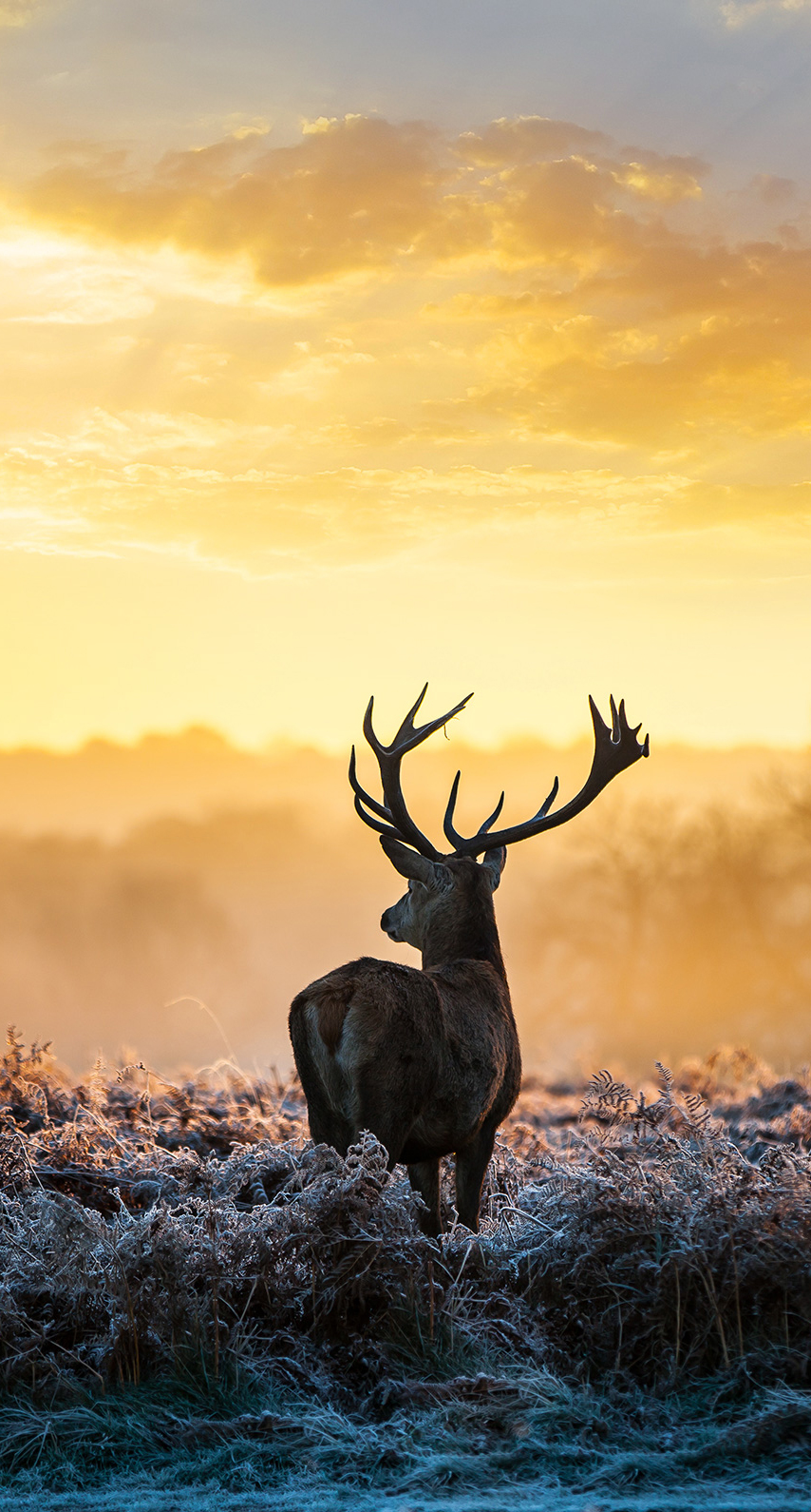 deer, sunset