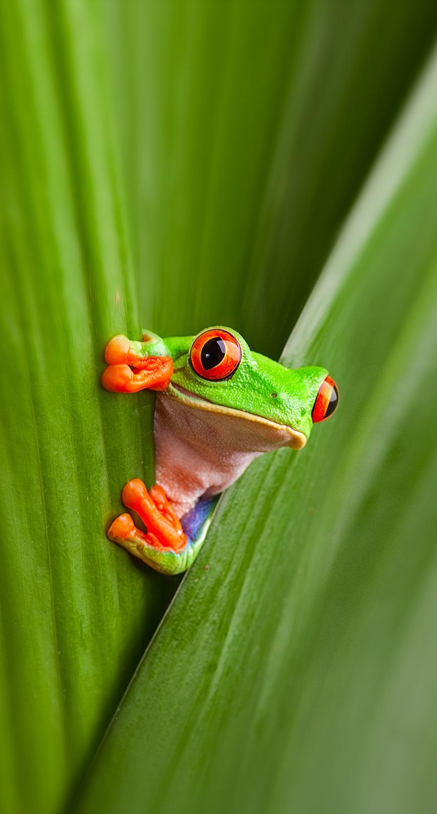 amphibian, hyla