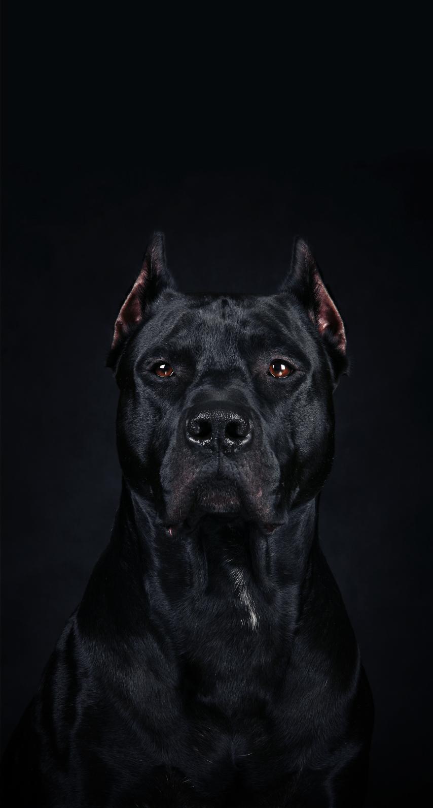 cane corso, guard dog