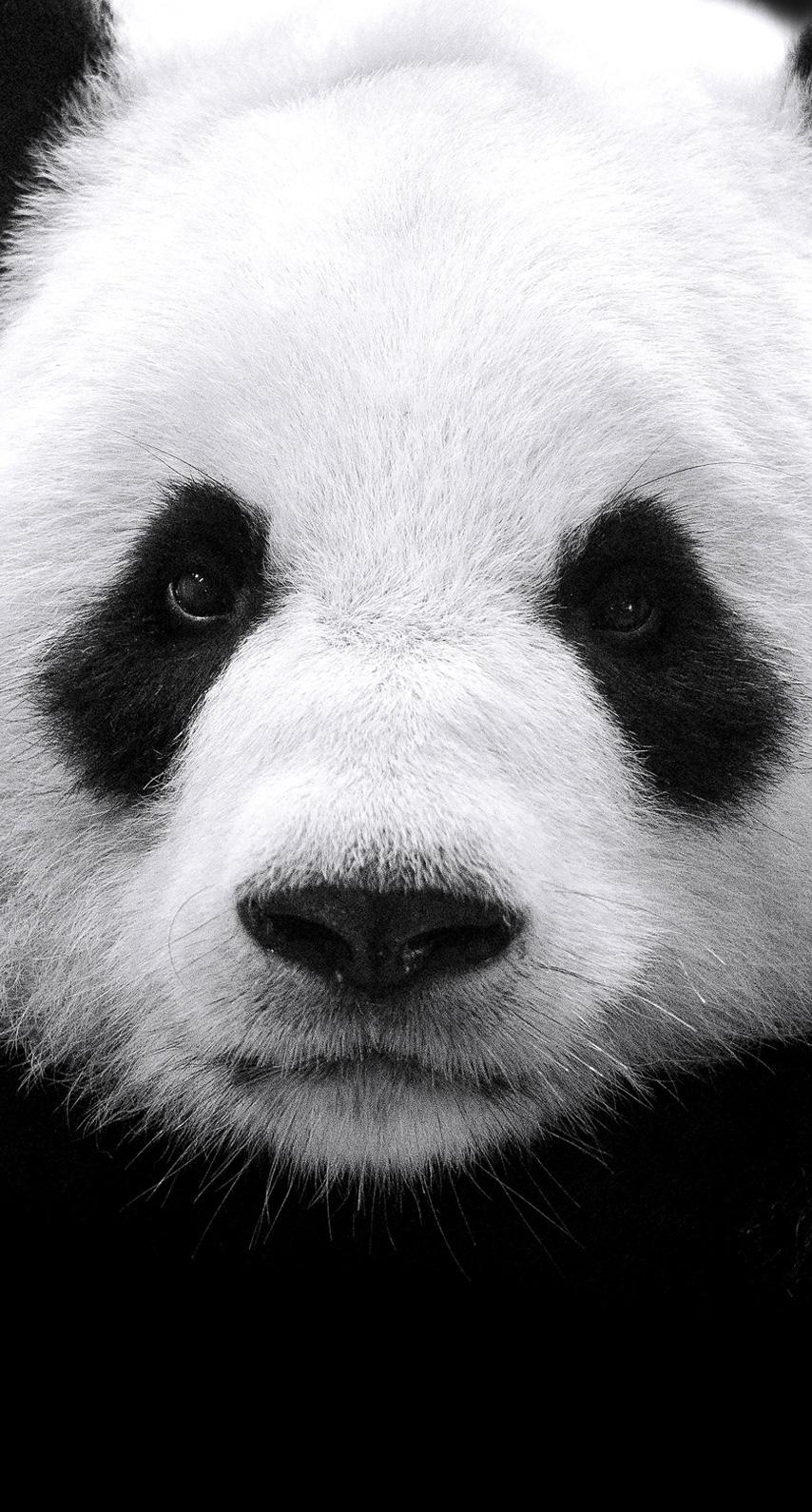 eye, panda