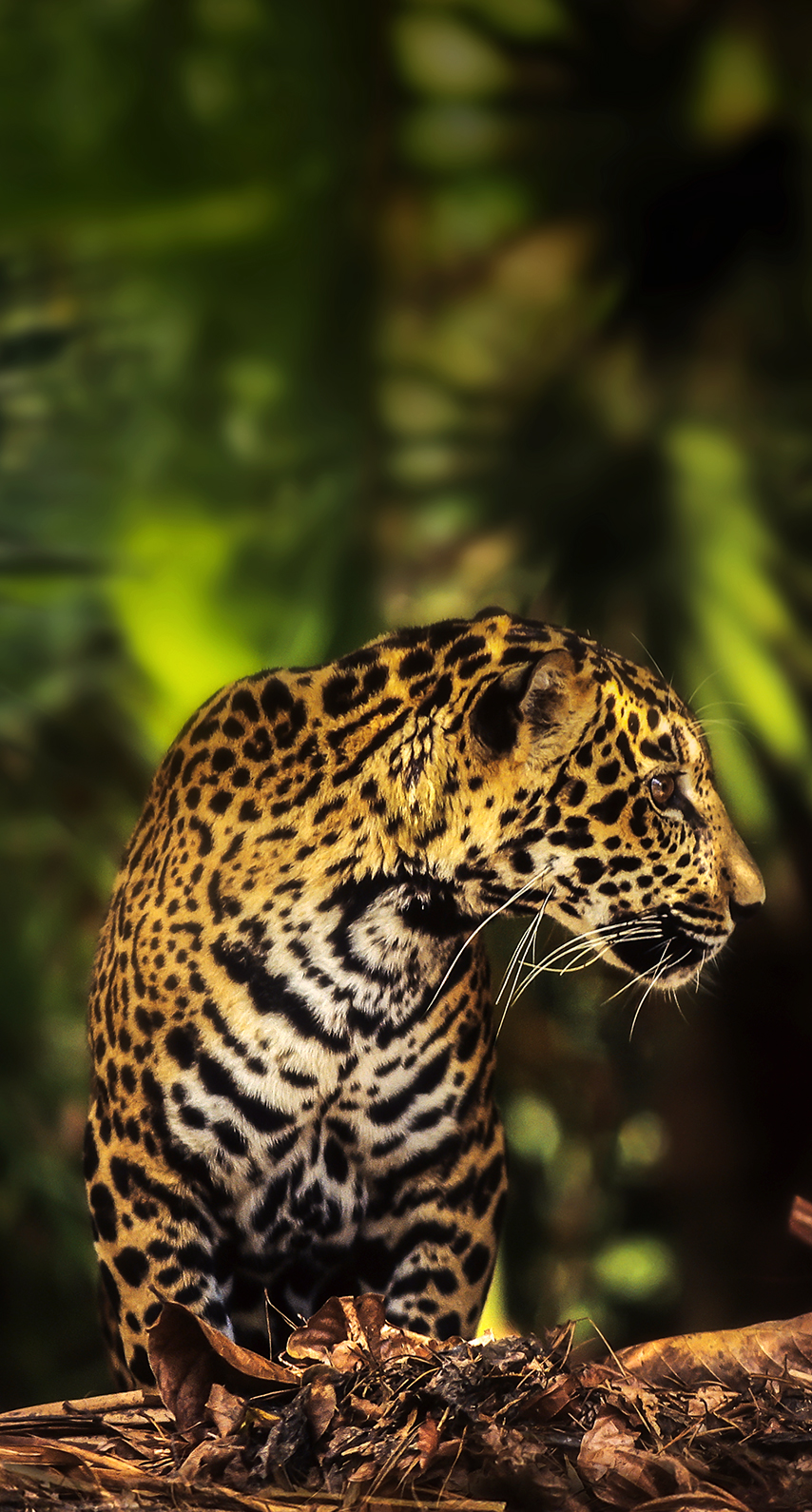 jaguar, animal