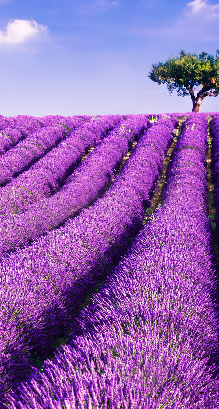 countryside, lavender