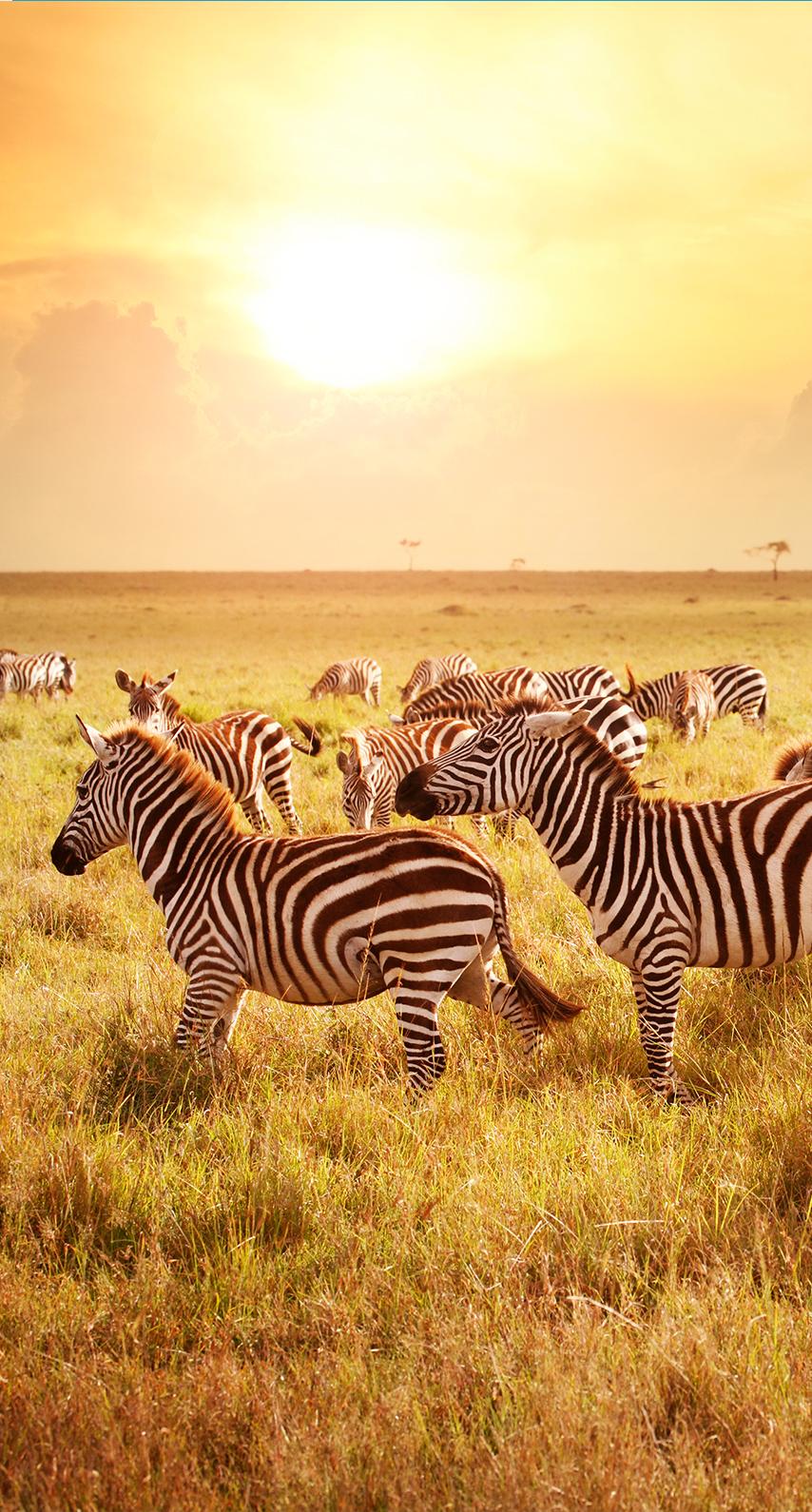 zebra, sunset