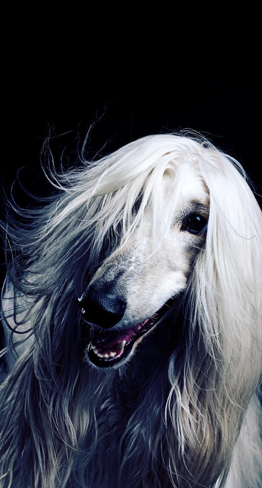 saluki, silken windhound