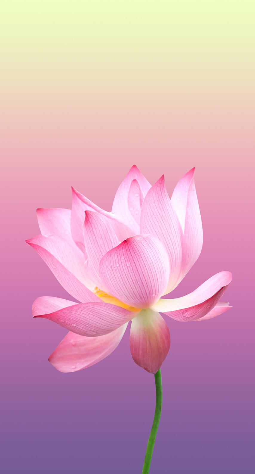 flowering plant, rose family