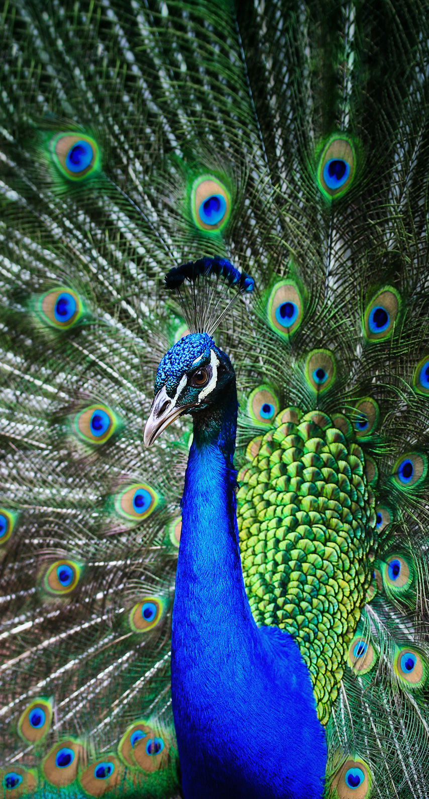 peacock, peafowl